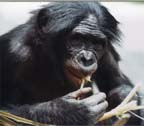 Pygmi-Chimp